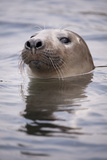 Young Grey Seal (Halichoerus Grypus) Taking a Curious Peep Out of the Water, Hebrides, Scotland, UK Photographic Print by Alex Mustard