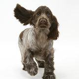 Chocolate Roan Cocker Spaniel Puppy, Topaz, 12 Weeks, Running with Ears Flapping Fotografisk tryk af Mark Taylor