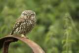 Little Owl (Athene Noctua) Perched on a Rusting Iron Wheel, Essex, England, UK, June Fotoprint van Luke Massey