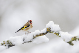 Goldfinch (Carduelis Carduelis) Perched on a Snow Covered Branch, Perthshire, Scotland, UK, April Papier Photo par Fergus Gill