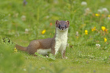 Stoat (Mustela Erminea), UK, July. Did You Know There are 37 Subspecies of Stoat around the World Photographic Print by Andy Rouse