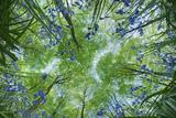 Guy Edwardes - Looking Up Through Carpet of Bluebells (Endymion Nonscriptus) to Beech (Fagus Sylvatica) Canopy, UK Fotografická reprodukce
