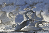 Mute Swan (Cygnus Olor) Taking Off from Flock on Water. Scotland, December Photographic Print by Fergus Gill