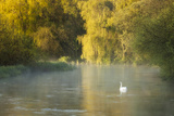 Mute Swan (Cygnus Olor) on the River Itchen at Dawn, Ovington, Hampshire, England, UK, May Photographic Print by Guy Edwardes