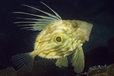 John Dory (Zeus Faber), Porthkerris Cove, Cornwall, England, UK, June Photographic Print by Linda Pitkin