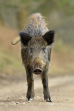 Wild Boar (Sus Scrofa) Female on Forest Track, Forest of Dean, Gloucestershire, UK, March Photographic Print by Andy Rouse