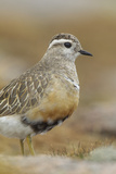 Female Eurasian Dotterel (Charadrius Morinellus) Grampian Mountains, Cairngorms Np, Scotland, UK Photographic Print by Mark Hamblin