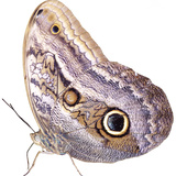 Cut-Out of Owl Butterfly {Caligo Sp} Costa Rica. Digital Composite Photographic Print by Mark Taylor