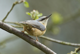 European Nuthatch (Sitta Europaea). Powys, Wales, May Photographic Print by Mark Hamblin