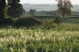 Barley Field, Haregill Lodge Farm, Ellingstring, North Yorkshire, England, UK, June Fotografisk tryk af Paul Harris