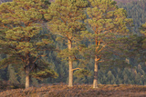 Three Scots Pine Trees, with Conifer Woodland in the Background, Glen Affric Nnr, Scotland, UK Photographic Print by Peter Cairns
