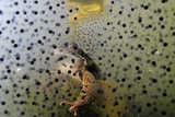 Common Frog (Rana Temporaria) and Frogspawn in a Garden Pond, Surrey, England, UK, March Photographic Print by Linda Pitkin