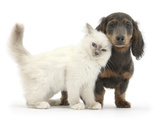Blue-Point Kitten and Blue-And-Tan Dachshund Puppy, Baloo, 15 Weeks Photographic Print by Mark Taylor
