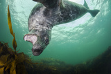 Grey Seal (Halichoerus Grypus) Playing Amongst Kelp, Farne Islands, Northumberland, England, July Photographic Print by Alex Mustard