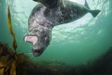 Grey Seal (Halichoerus Grypus) Playing Amongst Kelp, Farne Islands, Northumberland, England, July Photographic Print by Alex Mustard