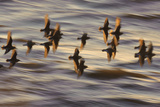 Flock of Dunlin (Calidris Alpina) Flying at Sunset over the Wash Estuary, Snettisham, Norfolk, UK Photographic Print by Chris Gomersall