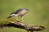 Sparrowhawk (Accipiter Nisus) Adult Male. Scotland, UK, February Photographic Print by Mark Hamblin