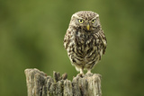 Little Owl (Athene Noctua) Perched on a Post, Essex, England, UK, June Photographic Print by Luke Massey
