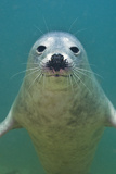Portrait of a Young Grey Seal (Halichoerus Grypus) Farne Islands, Northumberland, UK, North Sea Photographic Print by Alex Mustard