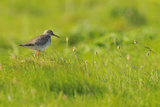 Redshank (Tringa Totanus) Calling, Balranald Rspb Reserve, North Uist, Outer Hebrides, Scotland Photographic Print by Fergus Gill