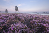 New Forest Ling (Calluna Vulgaris) and Bell Heather (Erica Cinerea) Rockford Common, Hampshire, UK Photographic Print by Guy Edwardes