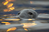 Grey Seal (Halichoerus Grypus) Bull with Reflections on Water of Harbour Lights, Shetland Isles, UK Photographic Print by Peter Cairns