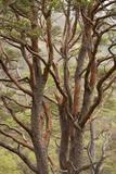 Scot's Pine Tree (Pinus Sylvestris) in Natural Woodland, Beinn Eighe Nnr, Highlands, Nw Scotland Photographic Print by Mark Hamblin