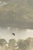 Peregrine Falcon (Falco Peregrinus) in Flight over the River Tay, Perthshire, Scotland, UK Photographic Print by Fergus Gill