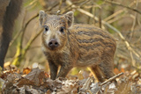 Wild Boar (Sus Scrofa) Piglet in Woodland Undergrowth, Forest of Dean, Gloucestershire, UK, March Photographic Print by Andy Rouse