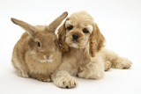 Buff American Cocker Spaniel Puppy, China, 10 Weeks, Lying Beside Sandy Lionhead-Cross Rabbit Photographic Print by Mark Taylor