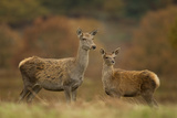 Red Deer (Cervus Elaphus) Hind and Young Calf, Bradgate Park, Leicestershire, England, UK, November Photographic Print by Danny Green