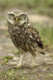 Little Owl (Athene Noctua) on the Ground, Essex, England, UK, June Photographic Print by Luke Massey