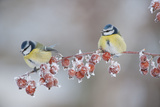 Blue Tits (Parus Caeruleus) in Winter, on Twig with Frozen Crab Apples, Scotland, UK, December Fotografisk tryk af Mark Hamblin