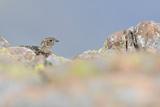 Ptarmigan (Lagopus Mutus) Hen in Summer Plumage Behind Rocks. Cairngorms National Park, Scotland Photographie par Fergus Gill