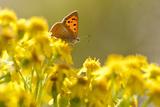Small Copper (Lycaena Phlaeas) Butterfly Resting on Common Ragwort (Senecio Jacobaea) Dorset, UK Lámina fotográfica por Ross Hoddinott