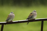 Turtle Doves (Streptopelia Turtur) Perched on a Rusting Iron Rail in a Rain, Essex, England, June Photographic Print by Luke Massey