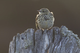 Backlit Meadow Pipit (Anthus Pratensis) Perched on an Old Post, Scotland, UK, May 2010 Photographic Print by Mark Hamblin