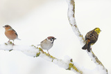 Tree Sparrow , Male Chaffinch and a Male Yellowhammer on Snowy Branch. Perthshire, UK, December Photographie par Fergus Gill