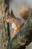 Red Squirrel (Sciurus Vulgaris) on Branch in Morning Sun, Brownsea Island, Dorset, UK, February Photographic Print by Bertie Gregory