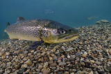 Brown Trout (Salmo Trutta) Jackdaw Quarry, Capernwray, Carnforth, Lancashire, UK, August Fotografie-Druck von Linda Pitkin