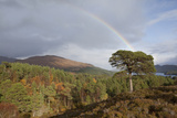 Rainbow over Forest of Scots Pine (Pinus Sylvestris) Trees, Glen Affric, Scotland, UK Photographic Print by Peter Cairns