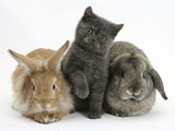 Grey Kitten with Sandy Lionhead-Cross Rabbit and Agouti Lop Rabbit Photographic Print by Mark Taylor