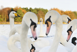 Whooper Swans (Cygnus Cygnus) and Mute Swans (Cygnus Olor) Close Up on Water. Scotland, November Photographic Print by Fergus Gill