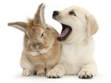 Yellow Labrador Retriever Puppy, 8 Weeks, Yawning in Lionhead Cross Rabbit's Ear Photographic Print by Mark Taylor