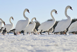 Mute Swan (Cygnus Olor) Group Walking on Ice at Sunrise. Glasgow, Scotland, December Photographic Print by Fergus Gill