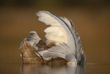 Mute Swan (Cygnus Olor) Juvenile on Water Preening, Fife, Scotland, UK, November Photographic Print by Peter Cairns