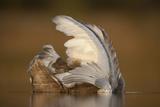 Mute Swan (Cygnus Olor) Juvenile on Water Preening, Fife, Scotland, UK, November Photographic Print by Peter Cairns