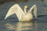 Whooper Swan (Cygnus Cygnus) Stretching its Wings. Caerlaverock Wwt, Scotland, Solway, UK, January Photographic Print by Danny Green