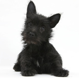 Black Terrier-Cross Puppy, Maisy, 3 Months, Lying with Head Raised Photographic Print by Mark Taylor