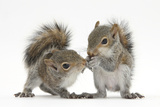 Grey Squirrels (Sciurus Carolinensis) Two Young Hand-Reared Babies Portrait Photographic Print by Mark Taylor